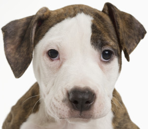Portrait of a pitbull puppy