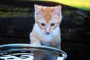 cat looking in bowl of water